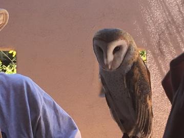 Barn Owl model